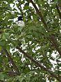 Male white morph Asian Paradise Flycatcher-3 (27021960876).jpg
