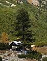 Maliovica Pinus peuce2.jpg
