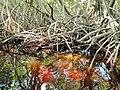 Malpighiales - Rhizophora mangle - 16.jpg