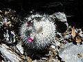 Mammillaria haageana forma (5742260919).jpg