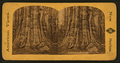 Mammoth Trees, California, by Pond, C. L. (Charles L.).png