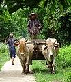 Man on Bullock Cart - Koh Trong Island - Mekong River - Kratie - Cambodia (48403226611).jpg