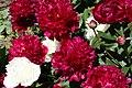 Mani ziedi My flowers - panoramio (48).jpg