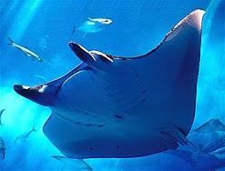 Manta ray - Chura-umi Aquarium