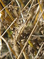 Mantis religiosa beige 2.jpg