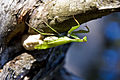 Mantis religiosa laying 3.jpg
