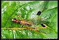 Mantispidae (5184940684).jpg