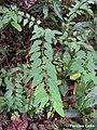 Maprounea guianensis, pinga-orvalho - Flickr - Tarciso Leão (1).jpg