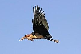 Marabou stork (Leptoptilos crumenifer) in flight 2.jpg