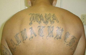 MS-13 - Mara Salvatrucha gang member with gang's name tattooed on his back
