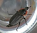 Margined Carrion Beetle (Oiceoptoma noveboracense).jpg