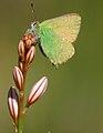 Mariposilla verde (2429729232).jpg