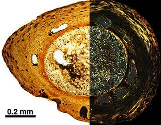 <i>Marmorerpeton</i> Extinct genus of amphibians