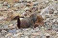 Marmota flaviventris (29862449176).jpg