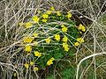 Marsh Marigold, Caltha palustris - geograph.org.uk - 902909.jpg