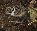 Masked Lapwing Juvenile.jpg