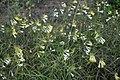 Meža ziedi, Garkalnes pagasts, Garkalnes novads, Latvia - panoramio.jpg