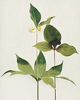 Medeola virginiana WFNY-022.jpg