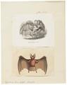 Megaderma lyra - 1700-1880 - Print - Iconographia Zoologica - Special Collections University of Amsterdam - UBA01 IZ20700105.tif
