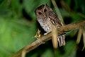 Megascops ingens, Rufescent Screech-Owl.jpg