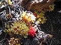 Melera (Cytinus hypocistiis) - panoramio.jpg