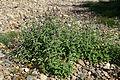 Mentha longifolia 02 by-dpc.jpg
