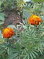 Mersin-Arslanköy Çiçekleri 16.jpg