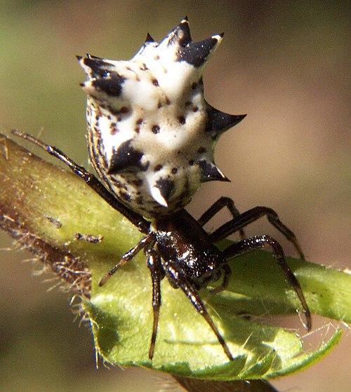 500px micrathena gracilis fem