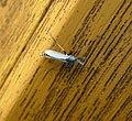 Midge. Chironomidae. ( C. plumosus^) - Flickr - gailhampshire.jpg