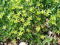 Minuartia sedoides PID1398-1.jpg