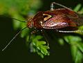 Mirid Bug (Lygus pratensis) (13564719963).jpg