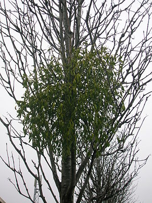 Kilwinning - Mistletoe growing on a Rowan tree in Kilwinning town centre. A rare plant in Scotland.