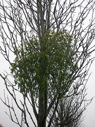 Kilwinning - Mistletoe growing on a Rowan tree in Kilwinning town centre. A rare plant in Scotland.