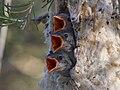 Mistletoebirds3048e.jpg
