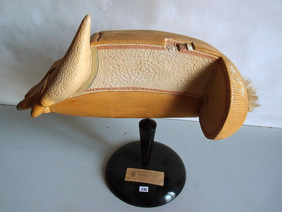 Modell eines Korns von Triticum vulgare (Weizen) -Osterloh Nr. 138-