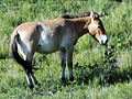 Mongolian Wild Horse (8368865828).jpg