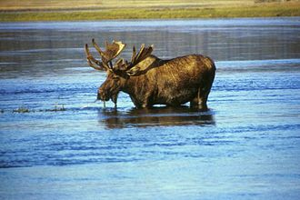 Geography of Russia - Moose