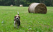 The Beagle has been used for rabbit-hunting since the earliest development of the breed.