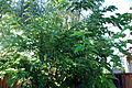 Morus Alba 1 2012-07-28.jpg
