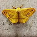 Moth Yellow.jpg