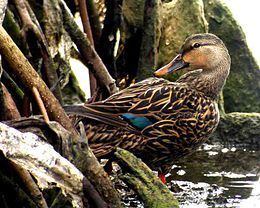 Mottled Duck.jpg