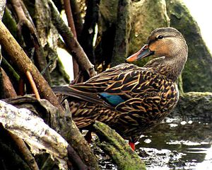 Mottled duck - Florida subspecies