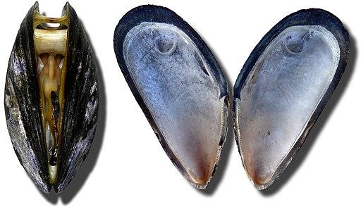 Moules Miesmuscheln mussel3