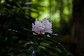 Mountain-trail-azalea-flower - West Virginia - ForestWander.jpg