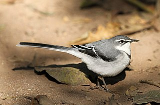 Mountain wagtail species of bird