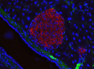 Pancreatic islets - A pancreatic islet from a mouse in a typical position, close to a blood vessel; insulin in red, nuclei in blue.