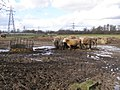 Muddy cows north of Manor House Farm, Nursling - geograph.org.uk - 344394.jpg