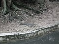 Mugger crocodile or Marsh crocodile from Bannerghatta National Park 8601.JPG