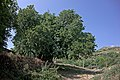 Mulberry tree at Ogren-Kostrec 1.jpg