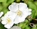 Multiflora Rose (Rosa multiflora) - Kitchener, Ontario.jpg